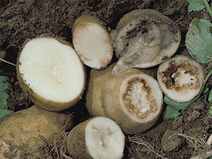 Клубни картофеля, зараженные кольцевой гнилью