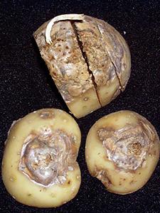 Картофель, зараженный сухой гнилью