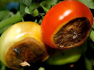 Сухая гниль томатов